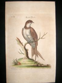 Edwards Seligmann C1760 Folio Hand Col Bird Print. Great Martin Swallow